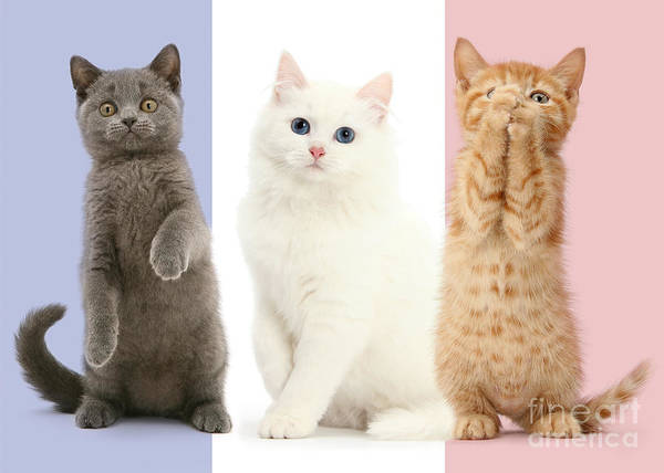 Photograph - Tricolour French Flag Cats by Warren Photographic