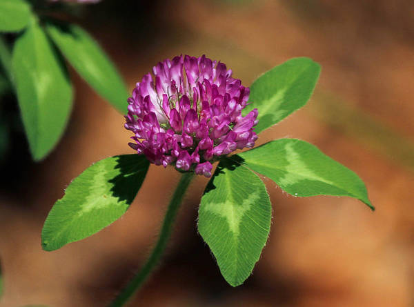 Photograph - Trifolium Pratense - Red Clover by Ericamaxine Price