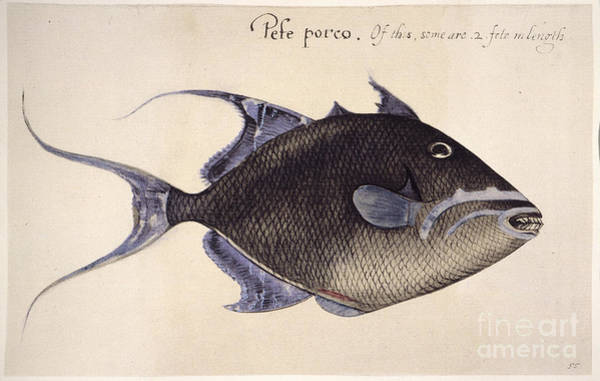Photograph - Trigger-fish, 1585 by Granger