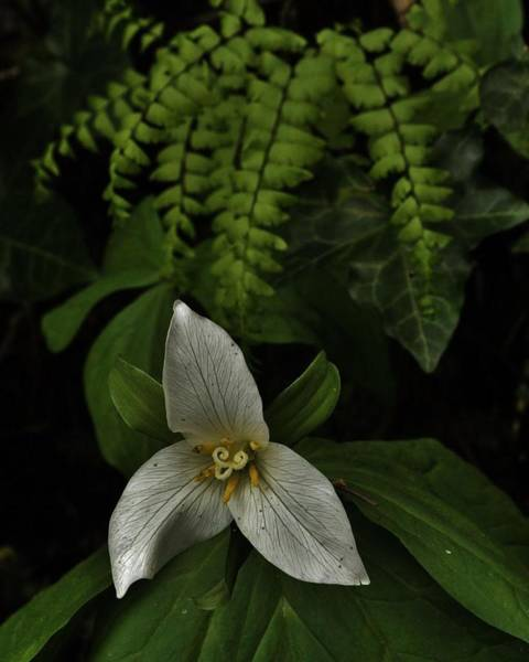 Photograph - Trillium And Maiden Hair Fern by Charles Lucas
