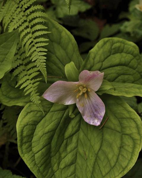 Photograph - Trillium At Rest by Charles Lucas