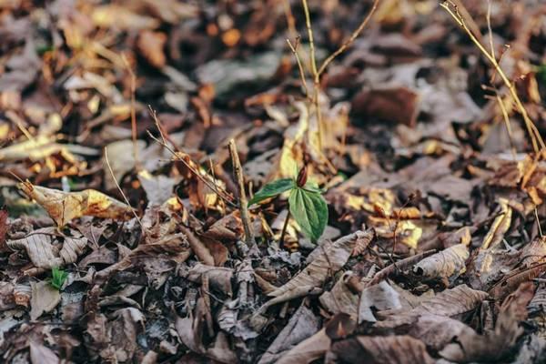 Trillium Blooming In Leaves On Forrest Floor Art Print