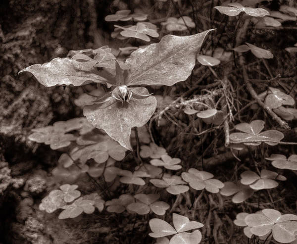 Photograph - Trillium From Muir Woods by Michael Kirk