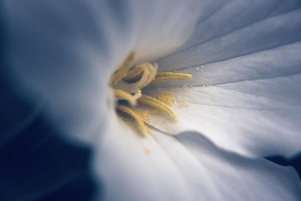 Photograph - Trillium by Jeanette Fellows