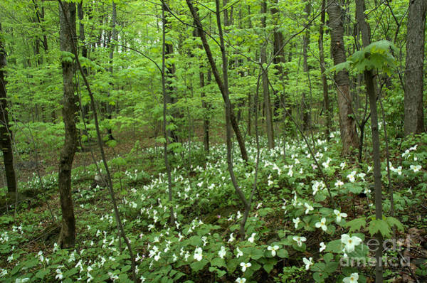 Shotwell Photograph - Trillium Heaven by Kathi Shotwell