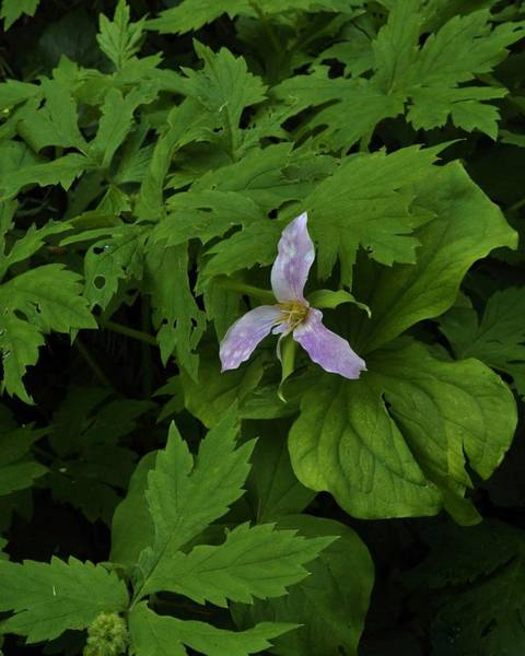 Photograph - Trillium In The Forest by Charles Lucas