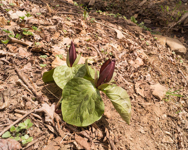 Photograph - Trillium In The Springtime Forest by MM Anderson