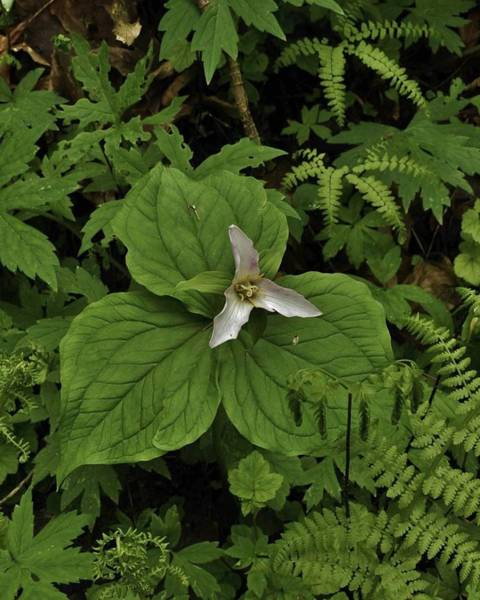 Photograph - Trillium In The Wilderness  by Charles Lucas