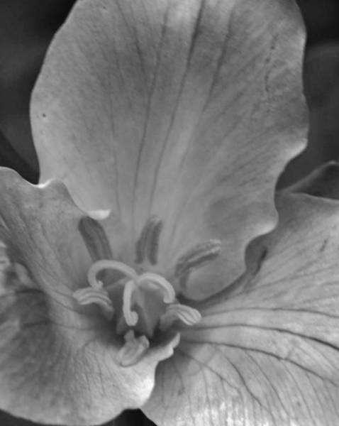 Photograph - Trillium's Voice Bw by Charles Lucas