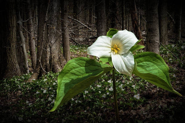 Woodlot Photograph - Trillium Wildflower Blooming In A Forest by Randall Nyhof