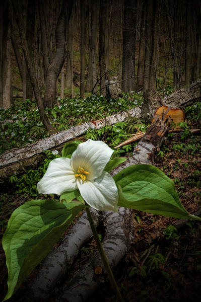 Woodlot Photograph - Trillium Wildflower By Fallen Birch Tree Logs by Randall Nyhof