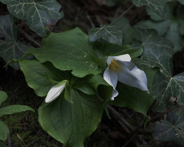Photograph - Trillium With Bud by Charles Lucas