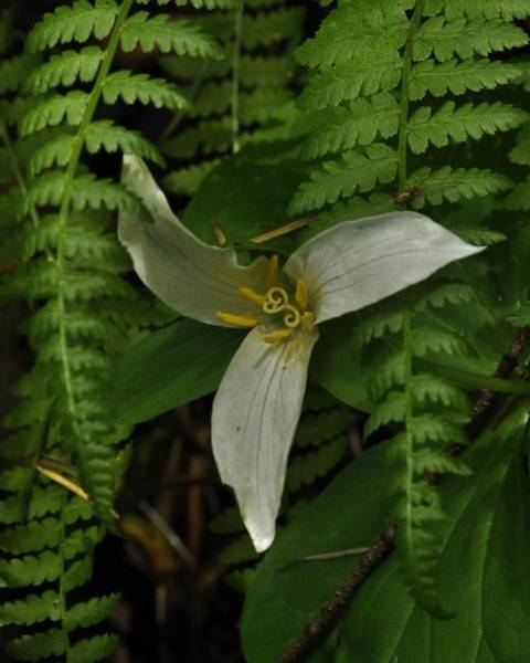 Photograph - Trillium With Sword Fern  by Charles Lucas
