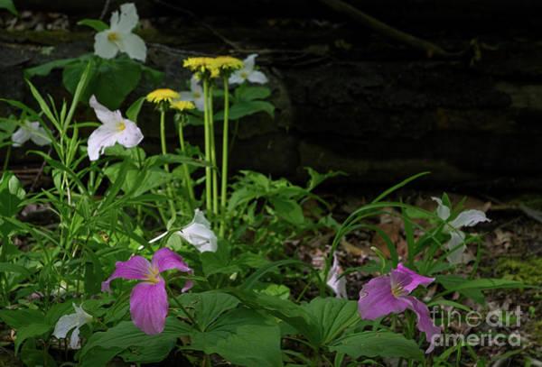 Photograph - Trilliums And Dandelions by Les Palenik
