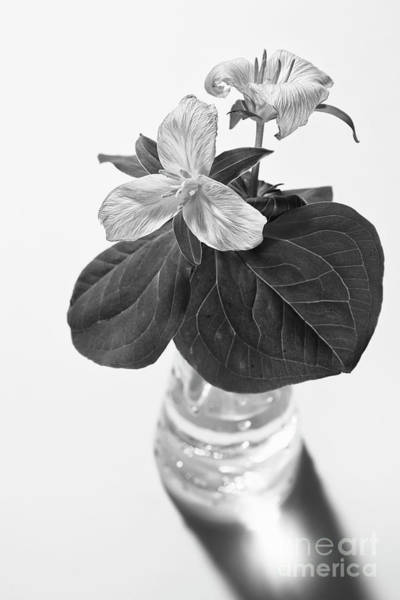 Wall Art - Photograph - Trilliums In A Vase  by Masako Metz
