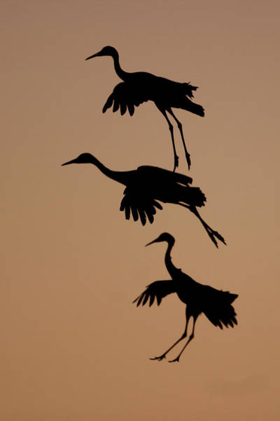 Photograph - Trio Of Cranes by Mark Miller