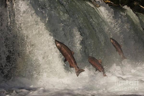 Chinook Salmon Photograph - Trio Of Jumping Salmon by Tim Grams