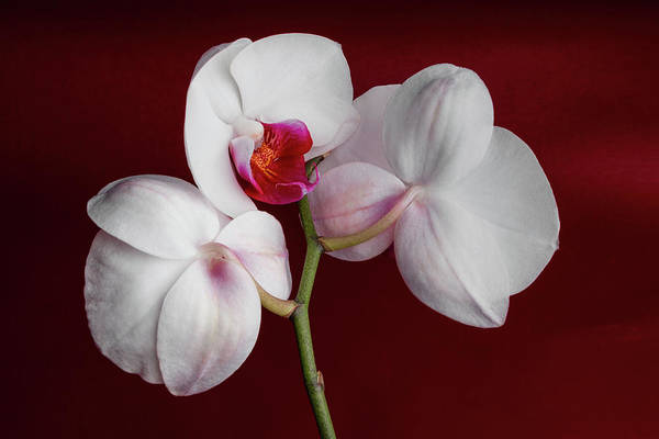 Floral Arrangement Photograph - Trio Of Orchids by Tom Mc Nemar