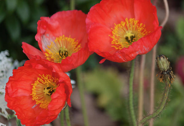 Wall Art - Photograph - Trio Of Red Poppies by Suzanne Gaff