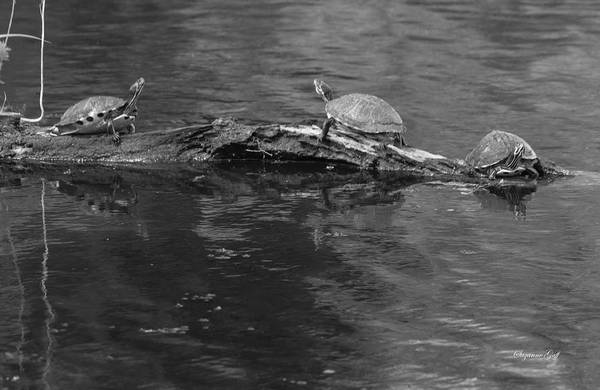 Wall Art - Photograph - Trio Of Turtles Sunning - Black And White by Suzanne Gaff
