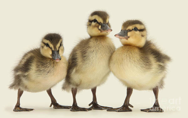 Photograph - Triple Ducklings by Warren Photographic