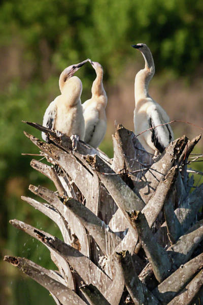 Photograph - Triplet Anhinga Chicks by Dawn Currie