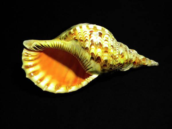 Photograph - Triton Trumpet Seashell Cymatium Tritonis by Frank Wilson