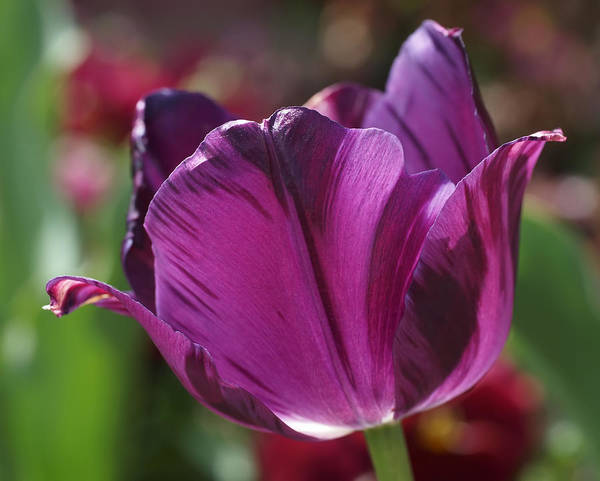 Photograph - Triumph Tulip Negrita by Rona Black