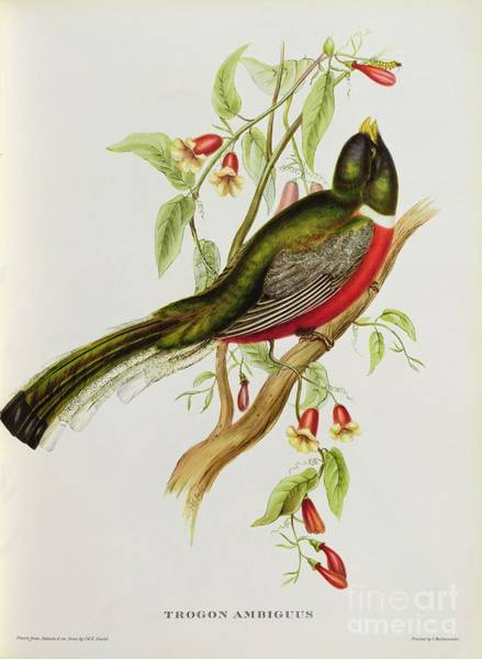 Ornithological Wall Art - Painting - Trogon Ambiguus by John Gould