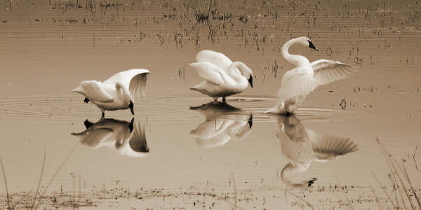 Wall Art - Photograph - Trois Cygnes by Whispering Peaks Photography