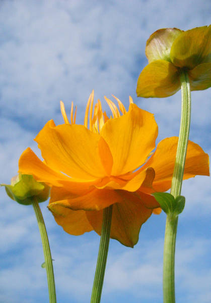 Wall Art - Photograph - Trollius Asiaticus by Barbara  White
