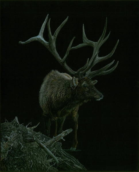 Antlers Drawing - Trophy by Laura Klassen