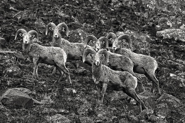 Photograph - Trophy Rams by Wes and Dotty Weber