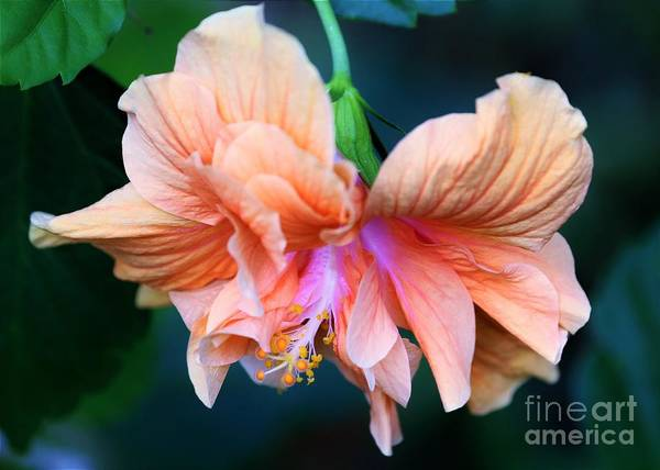 Mallow Family Wall Art - Photograph - Tropical Beauty by Diann Fisher