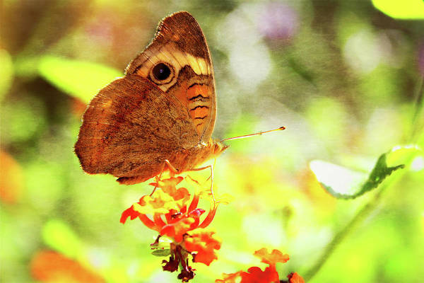 Photograph - Tropical Buckeye Butterfly by Kay Brewer