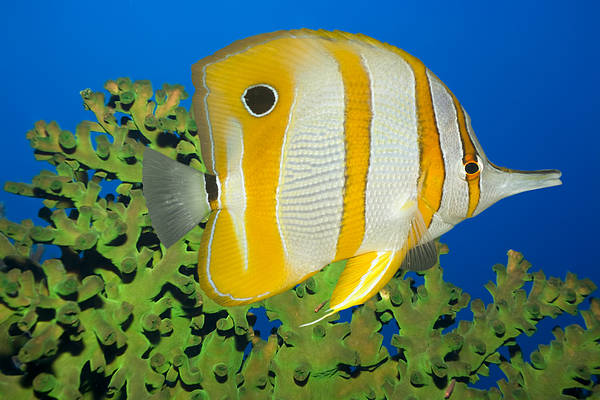 Wall Art - Photograph - Tropical Fish Butterflyfish. by MotHaiBaPhoto Prints