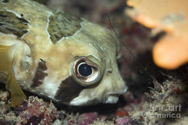 Diodon Photograph - Tropical Fish Porcupinefish  by MotHaiBaPhoto Prints
