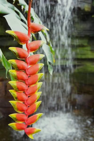 Heliconia Wall Art - Photograph - Tropical Flower Heliconia by Art Spectrum