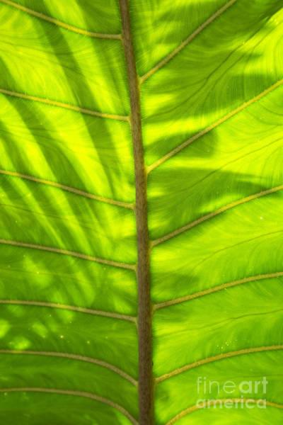 Photograph - Tropical Green Leaf Texture by Charmian Vistaunet