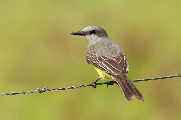 Photograph - Tropical Kingbird by Aivar Mikko