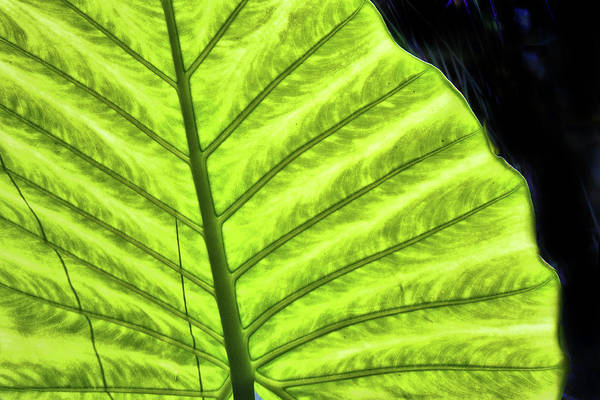 Photograph - Tropical Leaf by Grace Dillon