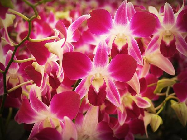 Photograph - Tropical Pink Orchid Burst by Shabby Chic and Vintage Art