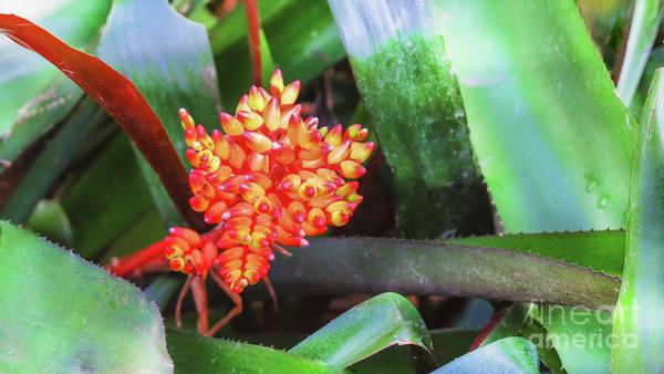 Photograph - Tropical Plant Costus by Marina Usmanskaya