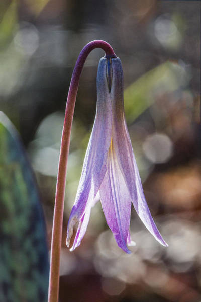 Photograph - Trout Lily by Steven Schwartzman