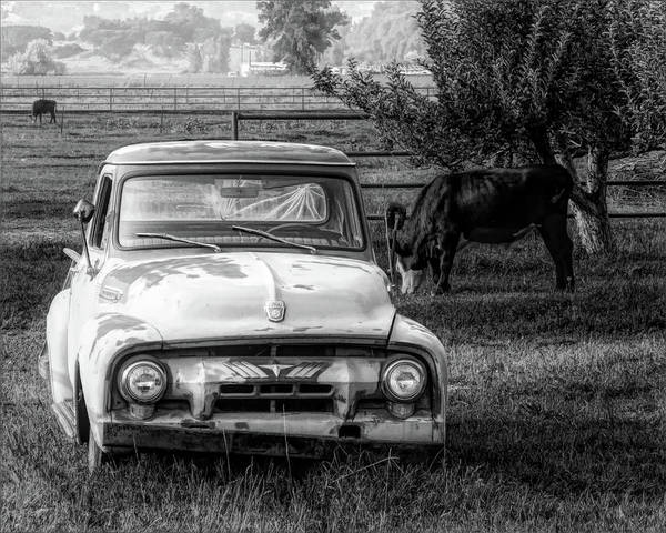Photograph - Truck And Cows Living Together Bw by David King