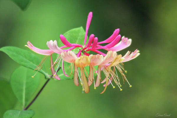 Photograph - Trumpet Honeysuckle by Trina Ansel