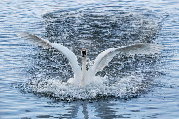 Photograph - Trumpeter Swan Landing #2 by Patti Deters