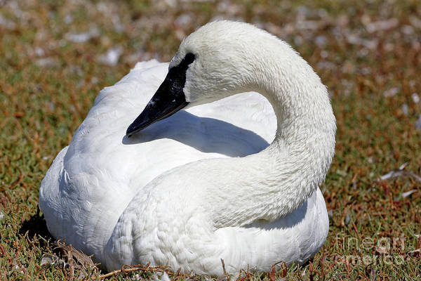 Photograph - Trumpeter Swan Calming Effect by Sue Harper
