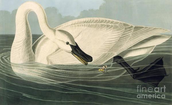 Trumpeter Swan Painting - Trumpeter Swan by MotionAge Designs