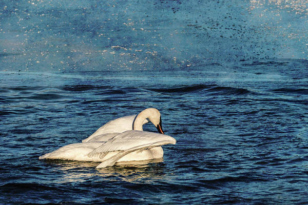 Photograph - Trumpeter Swan Journey by Patti Deters
